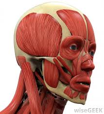 العضلات التعبيرية
